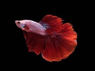 Roter Siamesischer Kampffisch Betta splendens