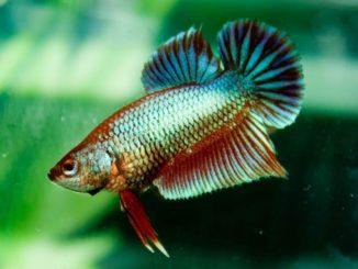 Betta imbellis - Friedlicher Kampffisch