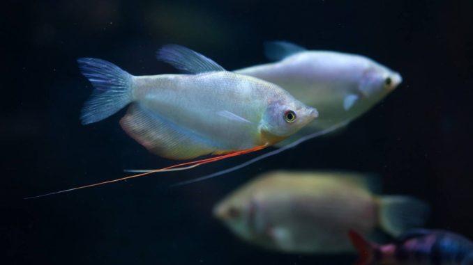 Mondscheinfadenfisch Trichogaster Microlepis