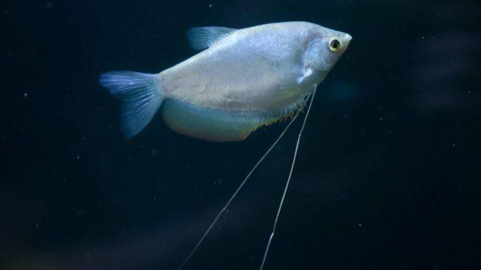 Mondscheinfadenfisch Trichogaster Microlepis Weibchen