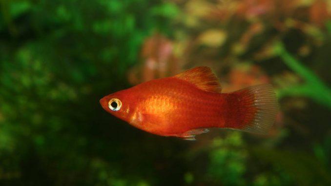 Marygold-Platy Xiphophorus Maculatus