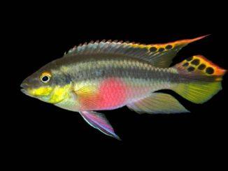 Purpurprachtbarsch - Pelvicachromis pulcher