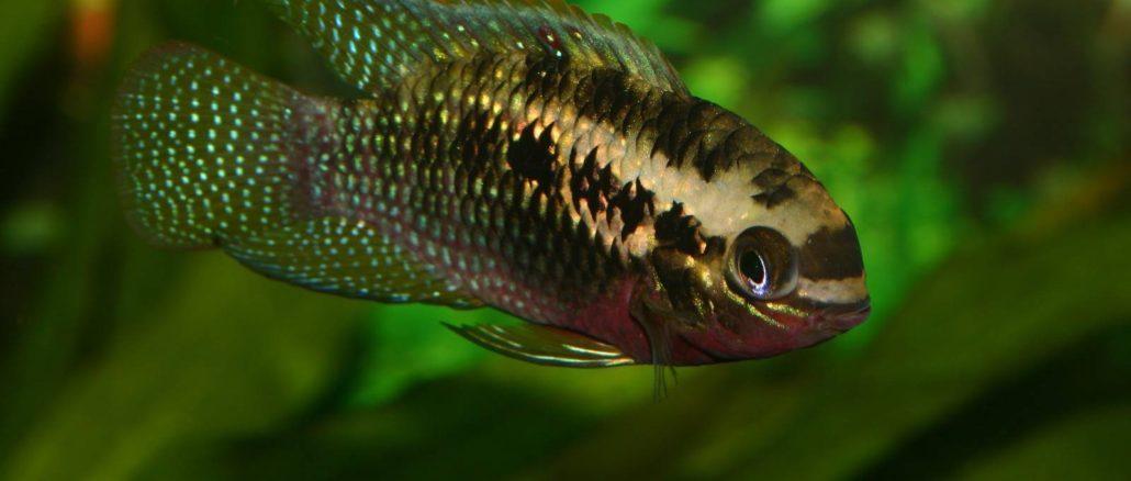 Roter Tüpfelbuntbarsch (Laetacara dorsigera) / Red dots cichlid (Laetacara dorsigera)