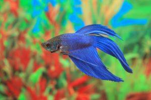 Siamesischer Kampffisch Betta splendens Blau