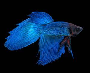 Blauer Siamesischer Kampffisch Betta splendens