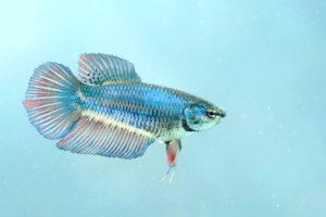 Weibchen Siamesischer Kampffisch Betta splendens
