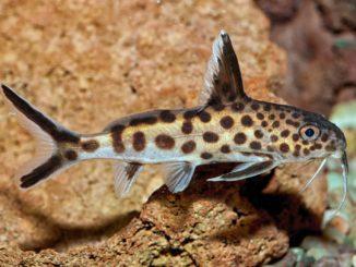 Vielpunkt Kuckuckswels Synodontis Multipunctatus